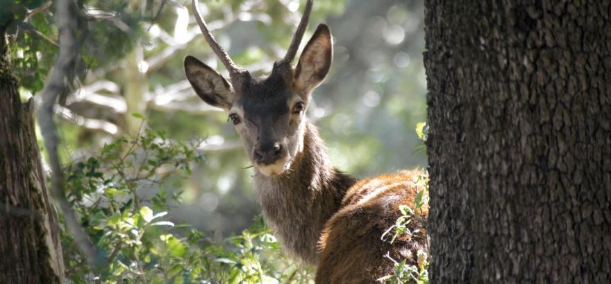 Primo piano di giovane cervo sardo