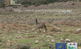 Transfer of deer in Sardinia
