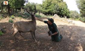 Cervo sardo ed operatore faunistico Ente Foreste