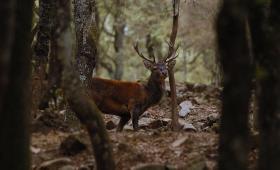 Gutturu Mannu, maschio nella foresta
