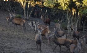 Laconi, esemplari di cervo sardo in località Biancone