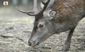 cervo maschio a Neoneli