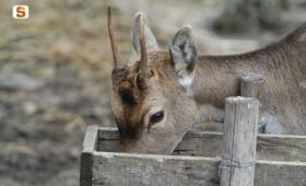 Neoneli, cervo sardo, giovane in recinto faunistico
