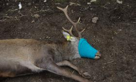 Cervo con marca auricolare ed occhi coperti per le operazioni sanitarie