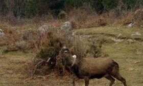 A grazing deer