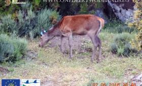 Sardinian female grazing in Corsica