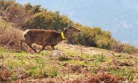 Corsica, rilascio femnina con radiocollare